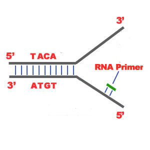 Binding of RNA Primase