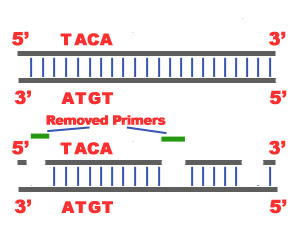 Termination: Last step of DNA Replication